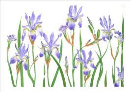 Siberian Iris - Papillon