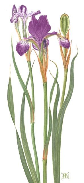 Iris sibirica Helen Astor £300