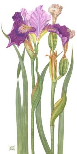 Iris Sib Steven Wilcox Webpic