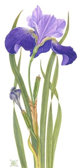 Iris sibirica Taldra Giclee Print £40