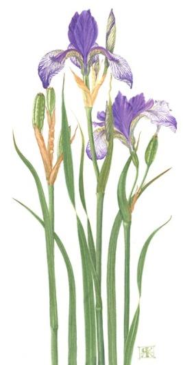 Iris sibirica Wealden Mystery Giclee Print £40