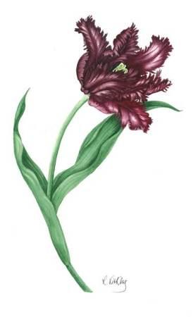 Tulip - Black Parrot