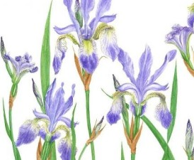 cropped-large-siberian-iris-2-july13-ed1.jpg