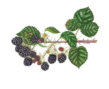 Blackberries 37 X 30cm £125