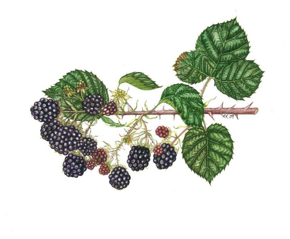 Blackberry-May-12