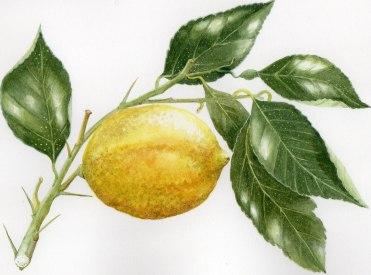 Lemon 35x25 cm £85